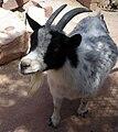 Pygmy Goat At Las Vegas Zoo.JPG