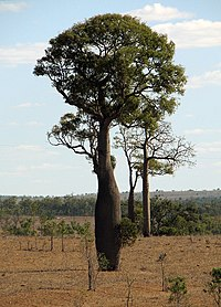 Queensland Bottle Tree 2