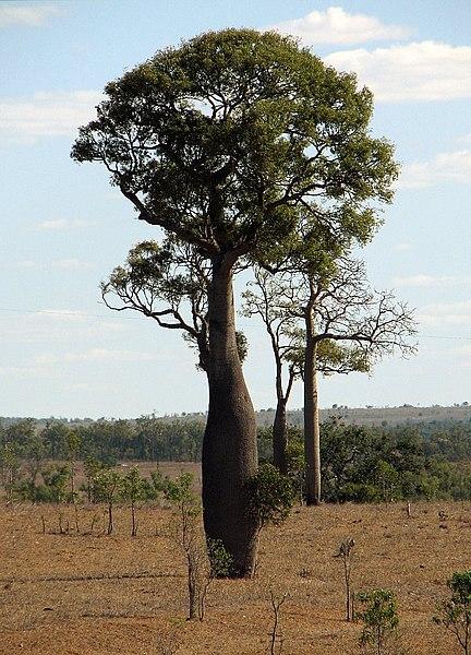 File:Queensland Bottle Tree 2.jpg