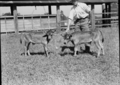 Queensland State Archives 1684 Twin Jersey calves c1952.png