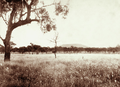 Queensland State Archives 2307 Grazing land at Jimbour Station Darling Downs 1897.png