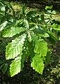 Quercus castaneifolia kz04.jpg