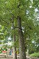 Quercus montana (24146147795).jpg