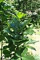Quercus pontica kz4.jpg