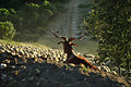 ROVE ,Bouc et troupeau de moutons vers les gorges du Gardon.FRANCE.jpg