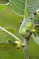 Rabdophaga salicis on Salix sp. (31881378296).jpg