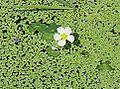 Ranunculus peltatis1.jpg