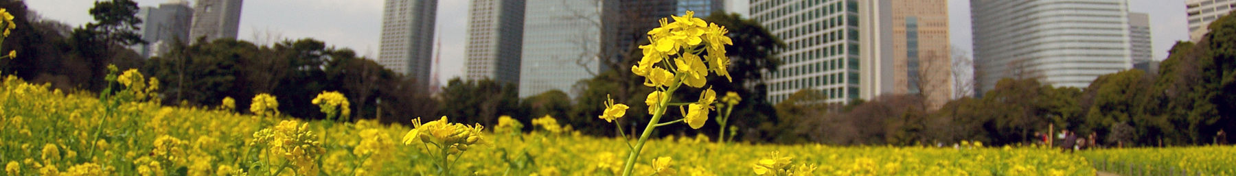 Rape blossoms field and shiodome skyscrapers wikivoyage banner.JPG