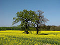 Rapsfeld-Schleswig-Holstein.jpg