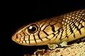 Rat Snake DSC 5997.jpg