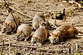 Rats - Rutland Water (32952675446).jpg