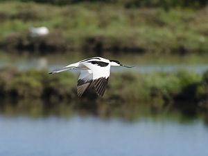 Pied avocet - Image: Recurvirostra avosetta pjt 2