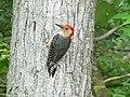Red-Bellied Woodpecker (4679009798).jpg