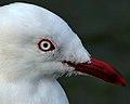 Red-Billed Gull (7686497796).jpg