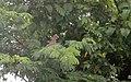 Red-billed Pigeon - Flickr - GregTheBusker.jpg