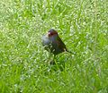 Red-browed Finch. Neochmia temporalis. - Flickr - gailhampshire (1).jpg