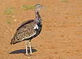 Red-crested Korhaan (Lophotis ruficrista) male (13799426305).jpg
