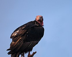 Red-headed Vulture Sarcogyps calvus, Bhopal, India.jpg