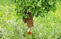 Red-headed Weaver (Anaplectes melanotis) male on nest (16487753467).jpg