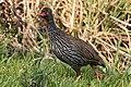 Red-necked Spurfowl (28094155572).jpg