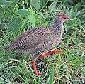 Red-necked spurfowl (Pternistis afer cranchii) immature, crop.jpg