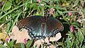 Red-spotted Purple Butterfly (10372085496).jpg