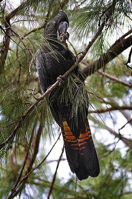 Red-tailed Black Cockatoo (Calyptorhynchus banksii) on Casuarina tree.jpg