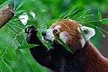 Red Panda (36831293953).jpg