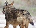 Red Wolf butt.jpg