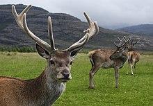Red deer stag.jpg