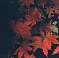 Red leaves - 000032 - panoramio.jpg
