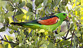 Red shouldered parrot 2 (14805926520).jpg