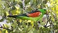 Red shouldered parrot 2 (14805926520).jpg
