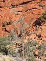 Redrocks dead tree 700px.jpg