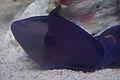 Redtoothed Triggerfish (Odonus niger) (15421460626).jpg