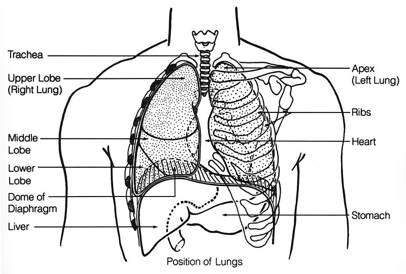 Human Respiratory System Diagram Black And White Crazywidowfo