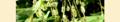 Reynoutria japonica. Reader.png