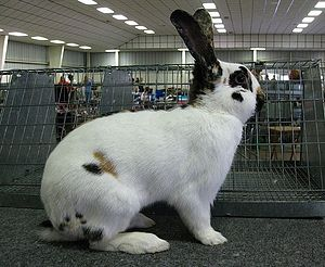 Rhinelander rabbit - Rhinelander buck