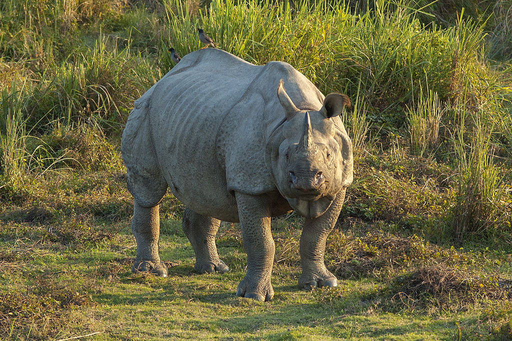 Rhinoceros unicornis, Kaziranga (2006)