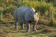Rinocero unicornis