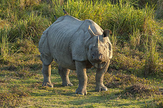 Wildlife of India -  The Indian rhinoceros in the Kaziranga National Park. Kaziranga in Assam, India is home to two-thirds of the one-horned rhinoceros population.