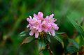 Rhododendon ferrugineum.JPG