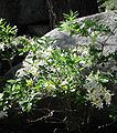 RhododendronOccidentale IMG 3120.JPG