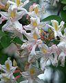 Rhododendron (undetermined hybrid) (27255923710).jpg