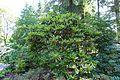 Rhododendron calophytum - VanDusen Botanical Garden - Vancouver, BC - DSC06926.jpg