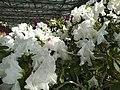Rhododendron cv. Kiev Grishko 13.jpg