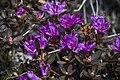 Rhododendron lapponicum (7833321068).jpg