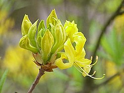 Rhododendron luteum3.jpg