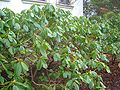 Rhododendron x 'Scintillation'.jpg