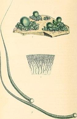 Rivularia nitida.jpg